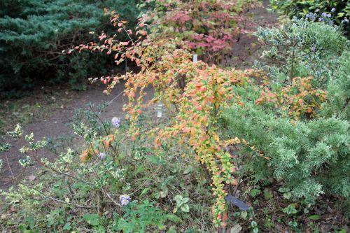 1 berberis amurensis rugidicans gb 6 oct 2012 025 (1).jpg