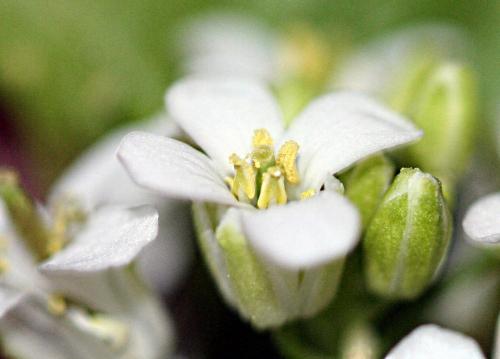 5 alliaire fleur veneux 14 avril  p 037.jpg