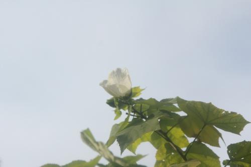 5 hibiscus paramutabilis romi 23 sept 2017 009.jpg