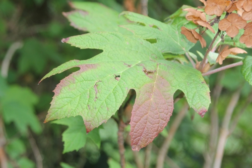8 hydrangea quercifolia veneux 9 sept 2017 012 (2).jpg