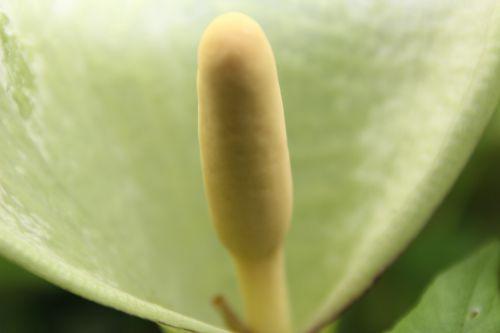 arum italicum veneux 29 avril 2014 007.jpg