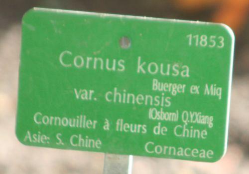 cornus kousa étiq paris 30 oct 2010 077.jpg
