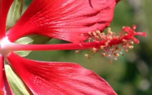 2 hibiscus coccineus paris 3 sept 2011 120.jpg