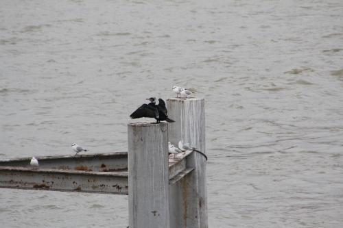 1 cormoran paris 31 janv 2015 204 (2).jpg