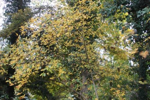 7 mespilus veneux 28 oct 2015 019 (1).jpg