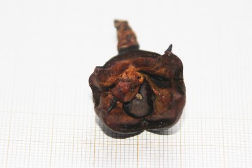5 camellia coquetti fruit veneux 15 dec 2017 004 (1).jpg