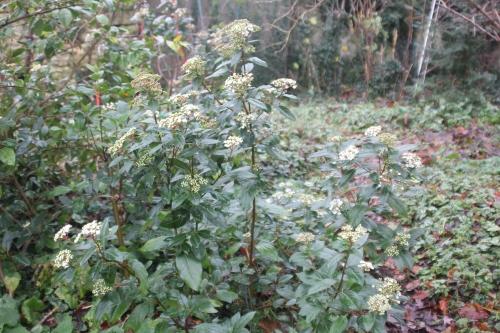5 viburnum tinus veneux 15 dec 2017 001.jpg