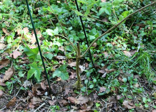 6 quercus pubescens romi 22 avril 2014 009 (6).jpg