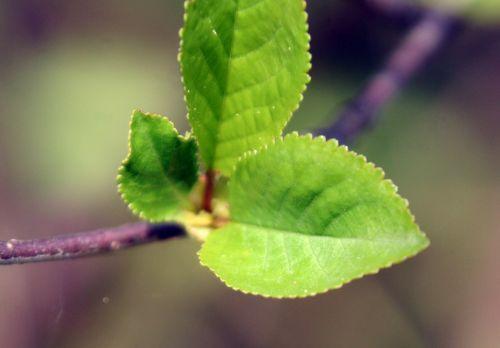 cerisier je pr 11 avril 2011 177.jpg