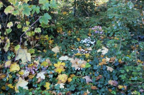 1 cyclamen hederifolium veneux 30 oct 2016 001.jpg