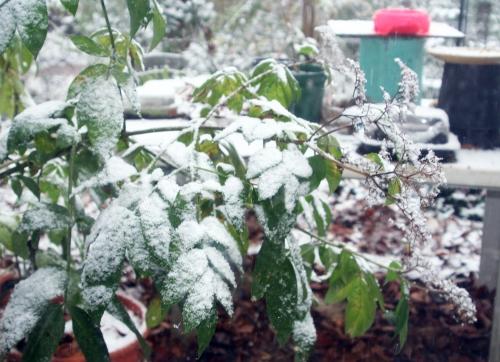 4 chinensis neige 9 dec 025.jpg