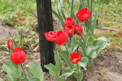 5 tulipes romi 20 avril 2013 110.jpg