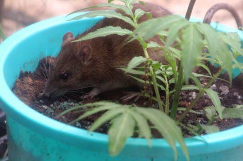 1 rat 27 avril 2012 042.jpg