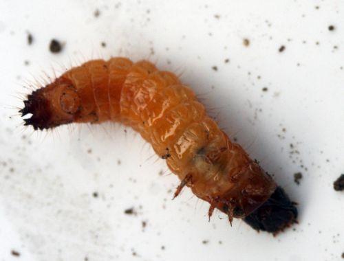 larve taupin 1 romi 8 nov 029.jpg