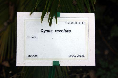 cycas revoluta marnay 21 sept 2013 092.jpg
