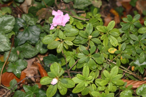 1 rhododendron obtusum veneux 14 oct 2017 011.jpg