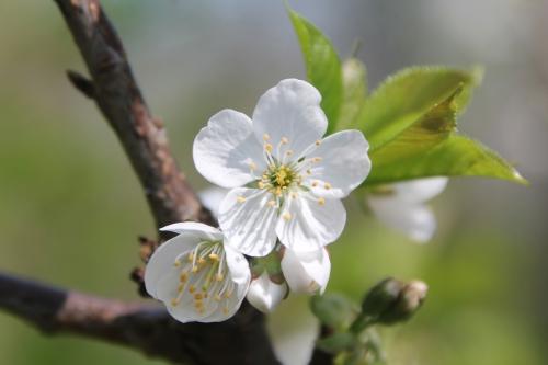 4 cerisier sweetheart romi 4 avril 2017 001 (6).jpg