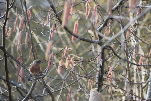 3 pinson des arbres  romi 8 mars 2014 097 (3).jpg