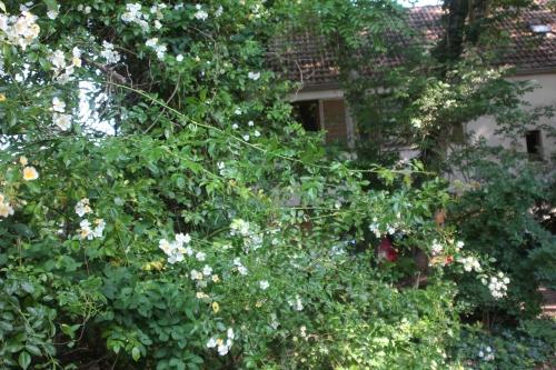 6 rosa mulliganii veneux 10 juin 2015 008.jpg