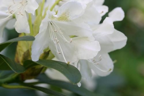 8 cunningham's white 25 avril 014.jpg