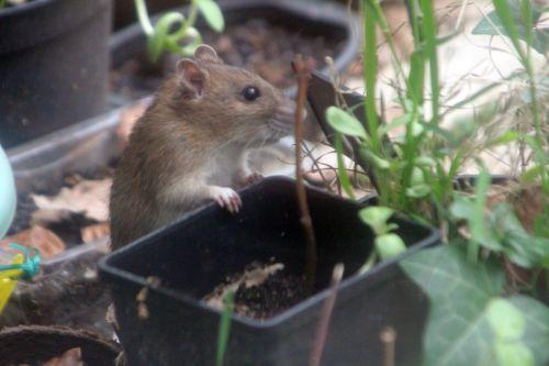 5 rat 27 avril 2012 071.jpg