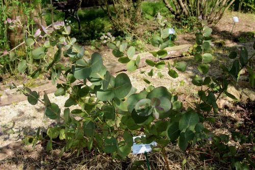 2 eucalyptus neglecta marnay 1 juin 2013 046.jpg