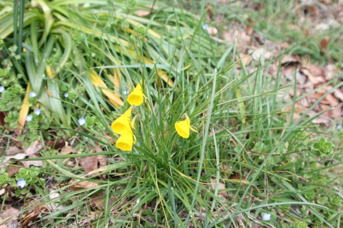2 narcissus bulbocodium veneux 24 mars 2016 001.jpg