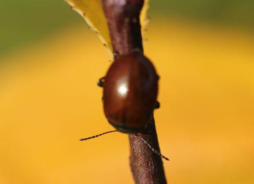chrysolina polita romi 9 nov  2011 019 (1).jpg