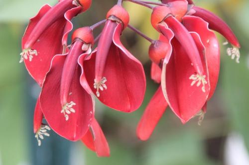 erythrina cristagalli marnay 11 sept 2016 089.jpg