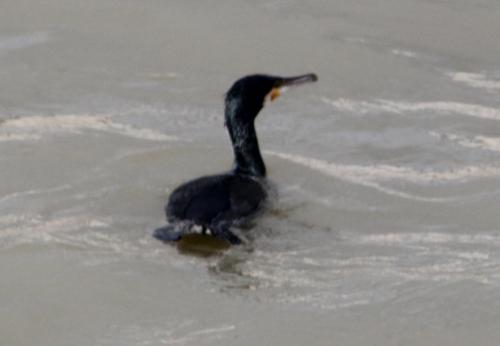 cormoran paris 31 janv 2015 207 (3).jpg