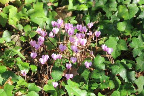 4 cyclamen hederifolium veneux 23 sept 2016 008.jpg