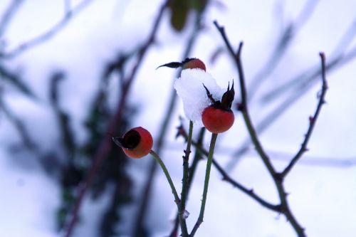 rose neige 20 déc 2010 038.jpg