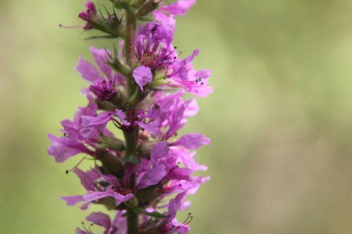 10 lythrum salicaria romilly 29 juil 2012 028.jpg
