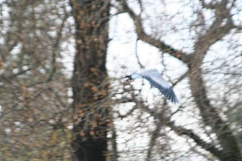 héron vol paris 27 nov 2010 ppp 138.jpg