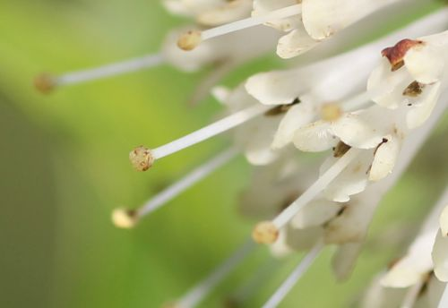 ad cephalanthus pistil barres 27 juillet 2013 124.jpg