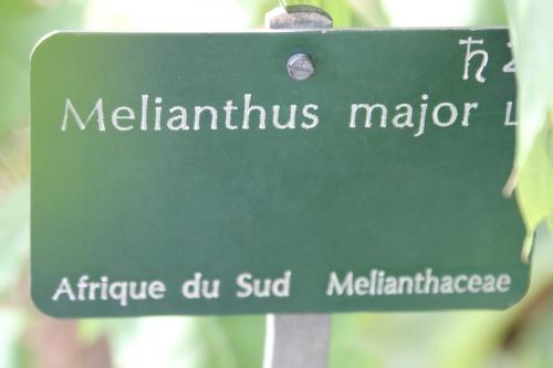 12 melianthus major paris 31 janv 2015 081.jpg