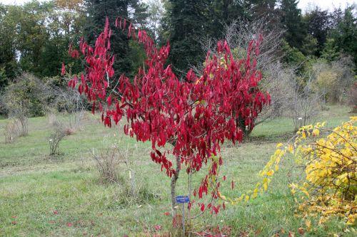 3 euonymus atropurpureus barres 13 oct 2012 139 (3).jpg
