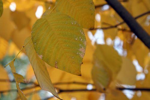 cladrastis paris 30 oct 2010 164.jpg