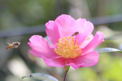 camellia sasanqua 19 octobre 2014 005.jpg