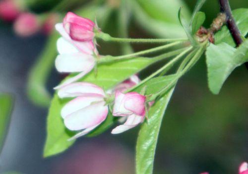 malus zumi fleurs gb 9 avril 2012 068.jpg