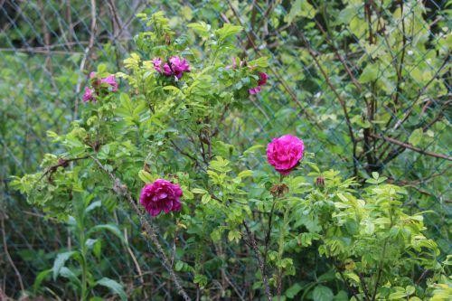 3 rosa rugosa romilly 8 mai 2014 134.jpg