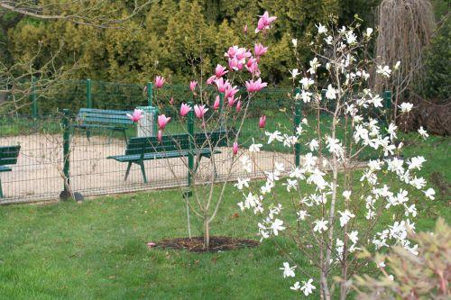 6 magnolia proctoriana Paris 12 mars 006.jpg