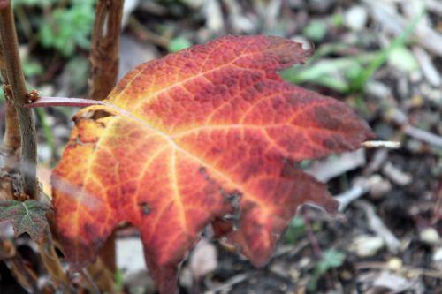 5 hydrangea quercifolia paris 24 déc 2012 077 (3).jpg