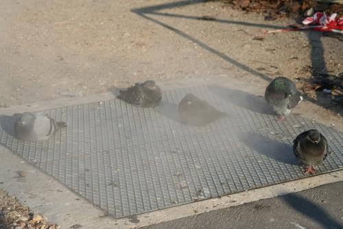 1 pigeons vapeur 19 déc 014.jpg