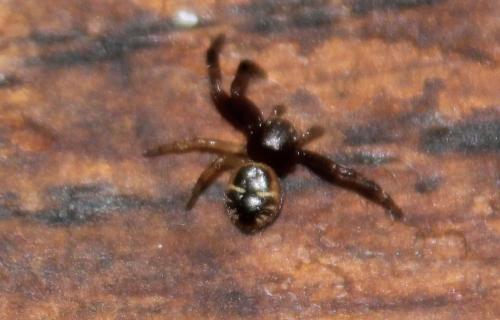 11 araignée cydonia krymsk veneux 11 sept 2017 013.jpg