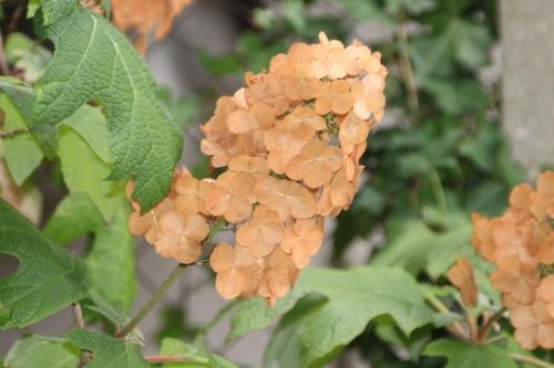6 hydrangea quercifolia veneux 4 sept 2016 009.jpg