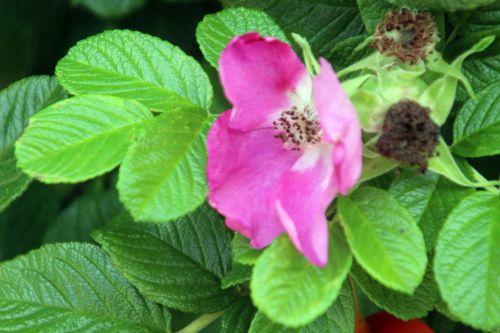 4 rosa rugosa 10 août 2013 022 (6).jpg