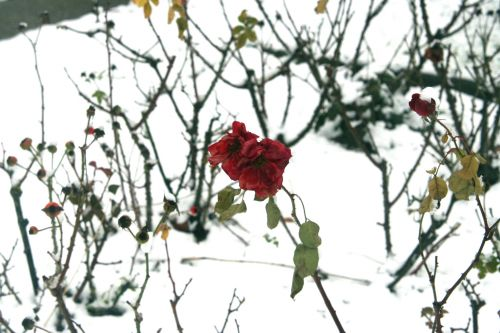 rose neige 20 déc 2010 041.jpg