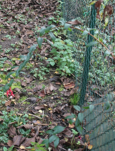 5 fuchsia reitzii romi 25 nov 2014 025 (1).jpg