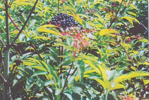 8 S. ebulus fruits dressés 97.jpg